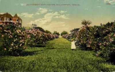 Oleander Esplanade - Galveston, Texas TX Postcard