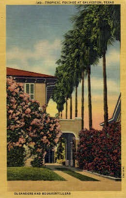 Oleanders & Bougainvilleas - Galveston, Texas TX Postcard