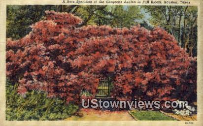 Azalea - Houston, Texas TX Postcard
