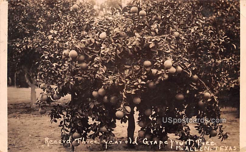 Record Three Year Old Grapefruit Tree - McAllen, Texas TX Postcard
