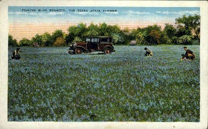 Picking Blue Bonnets - Misc, Texas TX Postcard