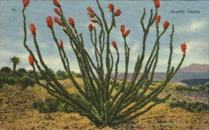 Octillo Cactus - Misc, Texas TX Postcard