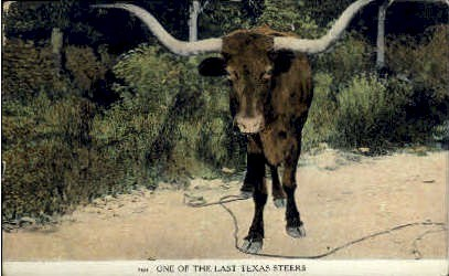 One of The Last Texas steers - Misc Postcard