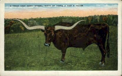 Texas Long Horn - Misc Postcard