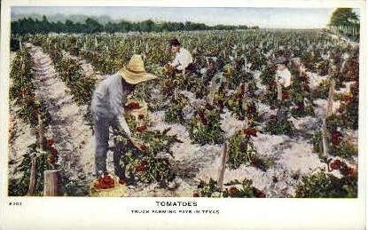 Tomatoes - Misc, Texas TX Postcard