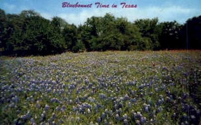 Bluebonnets, State Flower - Misc, Texas TX Postcard