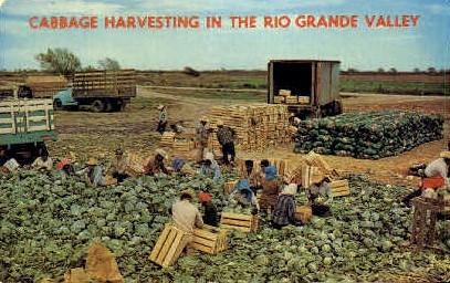 Cabbage Harvesting - Rio Grande Valley, Texas TX Postcard