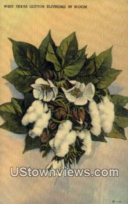 West Texas Cotton Blossom - Misc Postcard