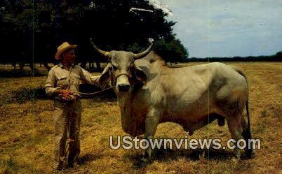 Brahman Bull - Texas TX Postcard