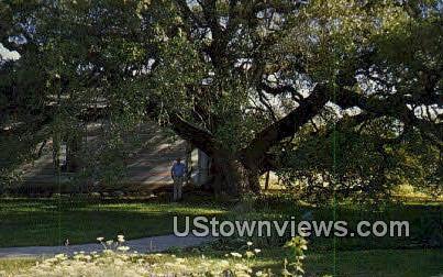Old Oak Tree - Rio Frio, Texas TX Postcard