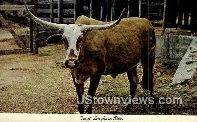 Texas Longhorn Steer - Misc Postcard