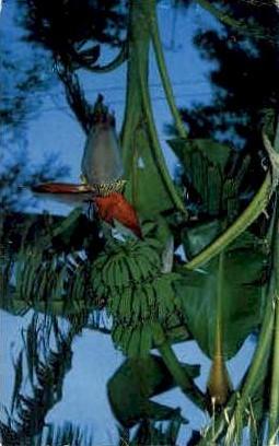 Banana Stalk - San Antonio, Texas TX Postcard