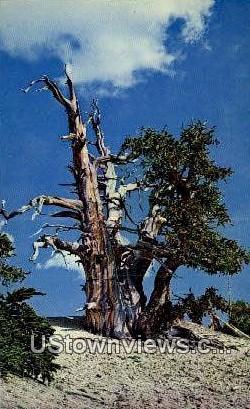 Bristlecone Pine - Cedar Breaks National Monument, Utah UT Postcard