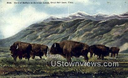 Herd of Buffalo, Antelope Island - Great Salt Lake, Utah UT Postcard