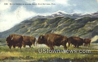 Buffalo on Antelope Island - Great Salt Lake, Utah UT Postcard