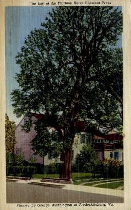 Thirteen Horse Chestnut Trees - Fredericksburg, Virginia VA Postcard