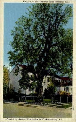 The Last of the Thirteen Horse Chestnut Trees - Fredericksburg, Virginia VA Postcard