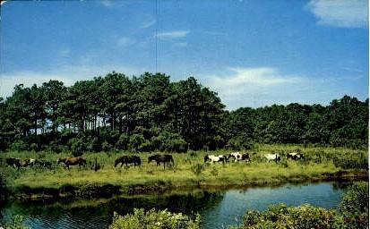 Chincoteague Ponies - Misc, Virginia VA Postcard