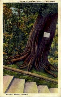 Arbor-Vitae Tree - Natural Bridge, Virginia VA Postcard