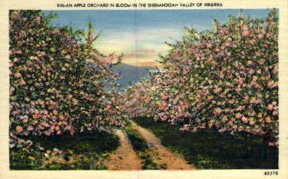Apple Orchard in Bloom - Misc, Virginia VA Postcard