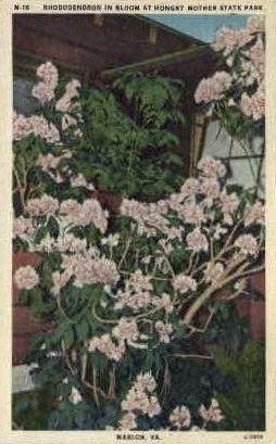 Rhododendron in Bloom - Marion, Virginia VA Postcard