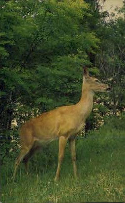 White Tailed Deer - Shenandoah National Park, Virginia VA Postcard
