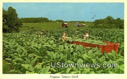 Tobacco Fields - Misc, Virginia VA Postcard
