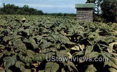 Tobacco, a Leading State Crop - Misc, Virginia VA Postcard
