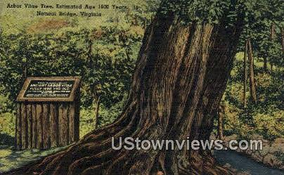 Arbor Vitae Tree, 1600 years old - Natural Bridge, Virginia VA Postcard