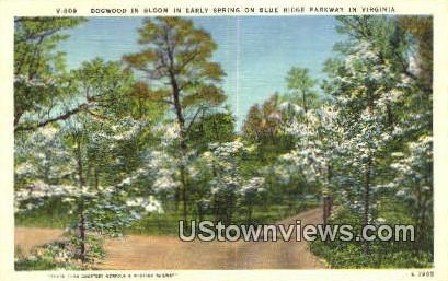 Dogwood In Bloom  - Blue Ridge Parkway, Virginia VA Postcard