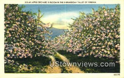 An Apple Orchard  - Shenandoah Valley, Virginia VA Postcard