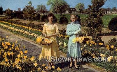 Little England Daffodil Farm  - Gloucester, Virginia VA Postcard