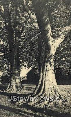 The Stanford Beeches At Stanford Hall  - Westmoreland County, Virginia VA Postcard