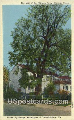 Last of the Thirteen Horse Chestnut Trees - Fredericksburg, Virginia VA Postcard