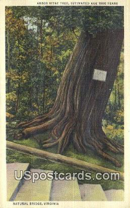 Arbor Vitae Tree - Natural Bridge, Virginia VA Postcard