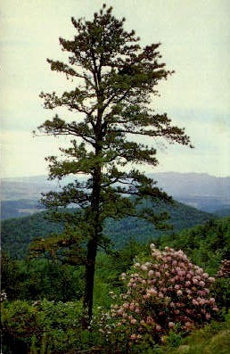 Pine Tree  - Skyline Drive, Virginia VA Postcard