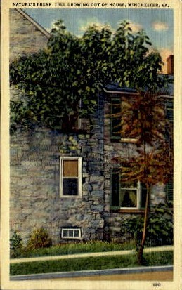 Freak Tree Growing Out Of House - Winchester, Virginia VA Postcard