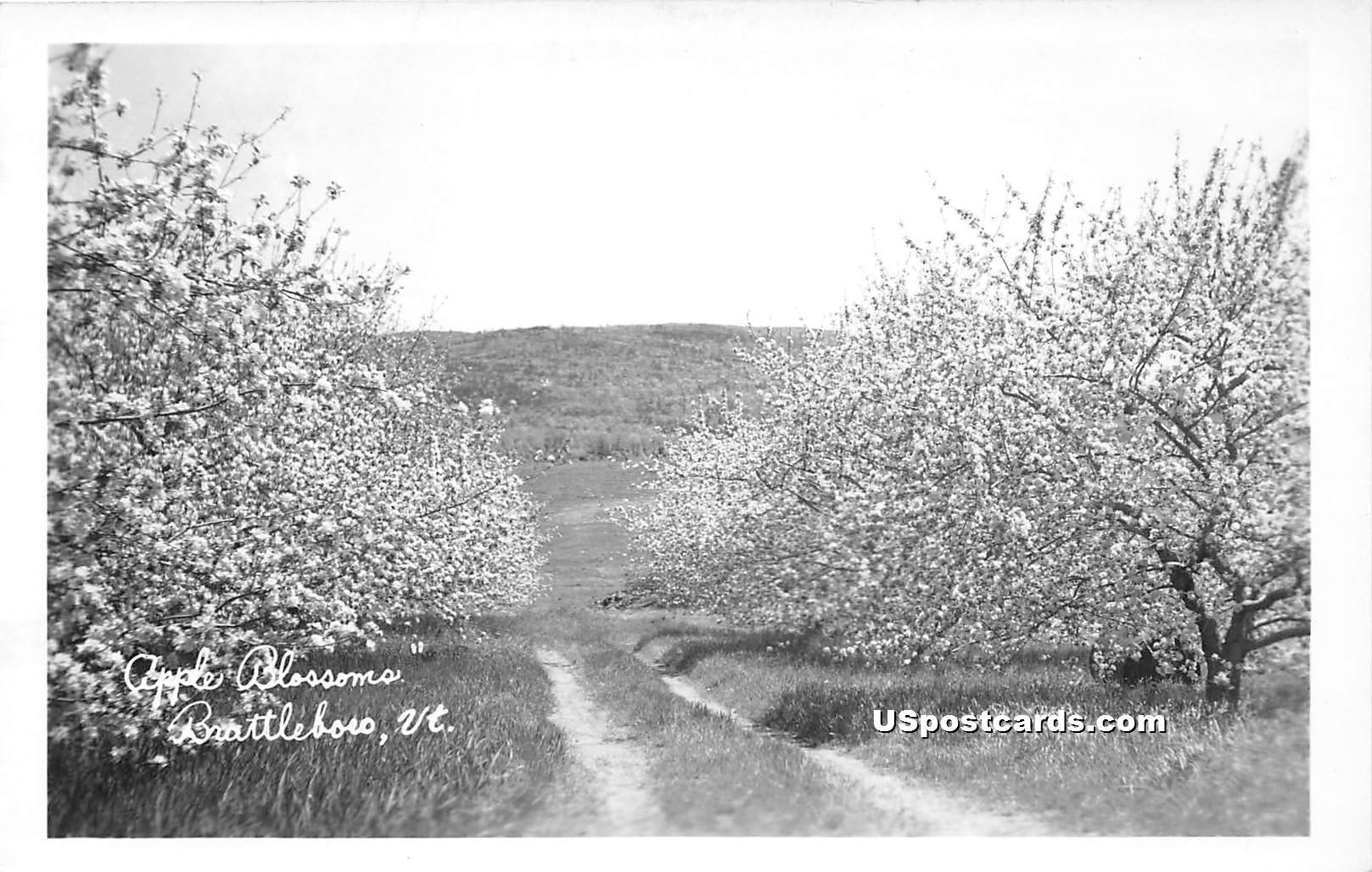 Apple Blossoms - Brattleboro, Vermont VT Postcard