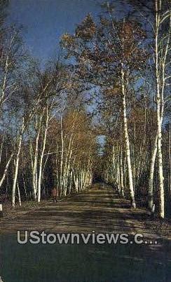 Vermont Birches - Southern Vermont Postcards Postcard