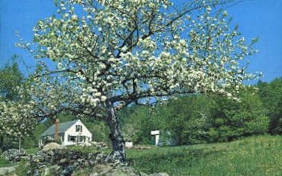 Apple Blossom Tree - Weston, Vermont VT Postcard