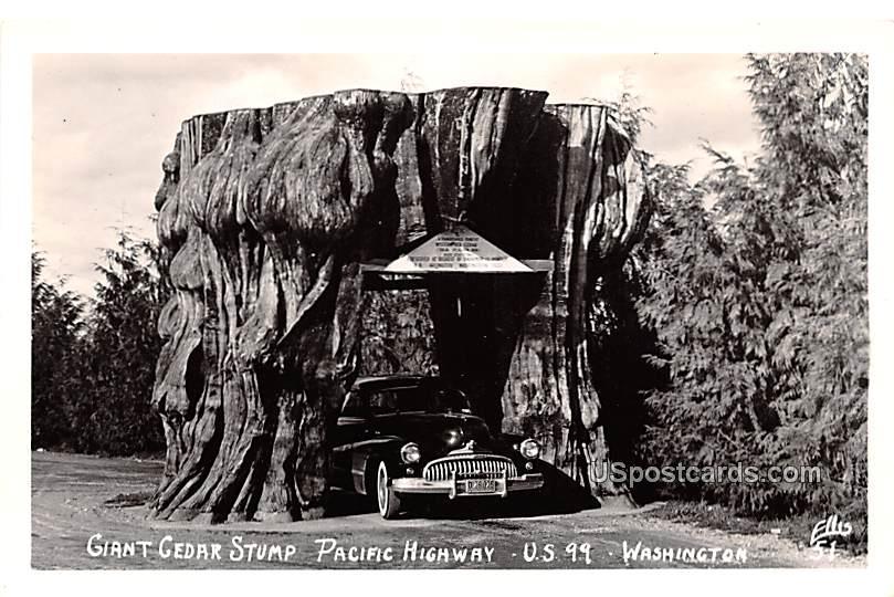 Giant Cedar Stump - Arlington, Washington WA Postcard