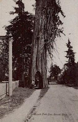Bicycle Path Tree - Everett, Washington WA Postcard