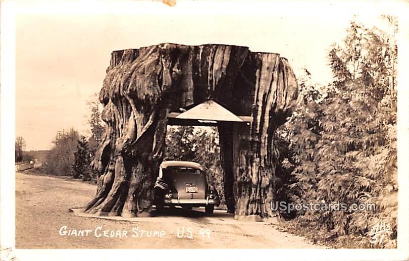 Giant Cedar Stump - Monroe, Washington WA Postcard