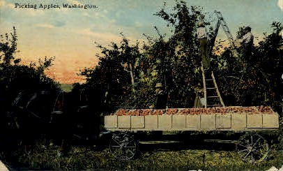 Picking Apples - Misc, Washington WA Postcard