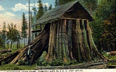 Cedar Stump - Misc, Washington WA Postcard