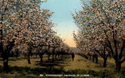 Orchard in Bloom - Misc, Washington WA Postcard