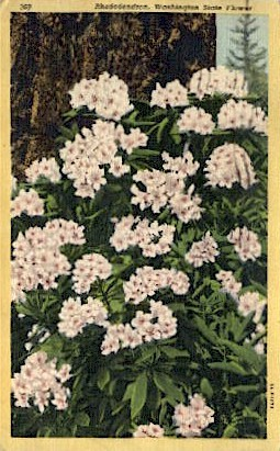 Rhododendron, State Flower - Misc, Washington WA Postcard