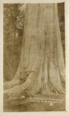 Tree - Stanley Park, Washington WA Postcard