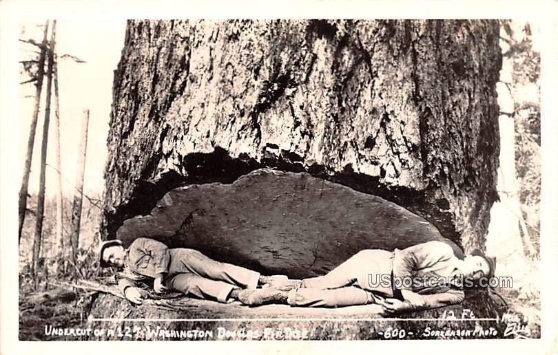 Undercut, Washington Douglas Fir Tree - Misc Postcard