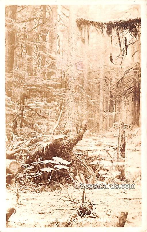Forest Scene - Olympia, Washington WA Postcard